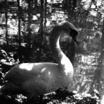 """Swan"" by BebeePino"