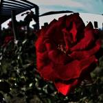 """red rose"" by tomparsons"