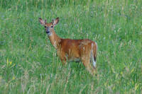 White Tail Deer Fawn