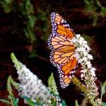 """Very Confident Monarch Butterfly"" by MichaelKarasik"