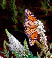 Very Confident Monarch Butterfly