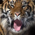 """Tiger - Somnolent Sumatran"" by HeWhoWalksWithTigers"