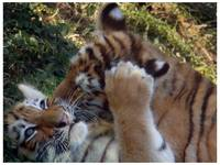 Tiger - Tiger Cub Kisses - sm