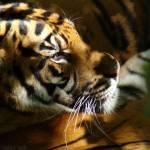 """""""Tiger - Sumatran Siesta"""" by HeWhoWalksWithTigers"""
