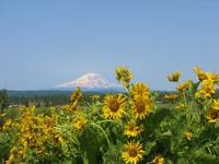 Mt adams flowers