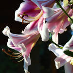 """Lily Flower art prints Pink Lilies Summer artwork"" by BasleeTroutman"