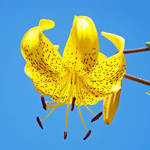 """Yellow Tiger Lily Flower art print Blue Sky Baslee"" by BasleeTroutman"