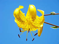 Yellow Tiger Lily Flower art print Blue Sky Baslee