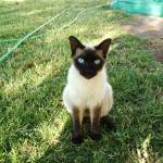 """Siamese cat"" by meganrenehoover"