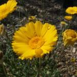 """Desert wildflower"" by meganrenehoover"