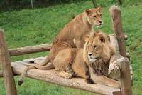 Tail-crossed Lions