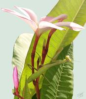 Mantis and Frangipani Flowers