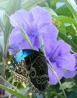 Bluebells and Morpho