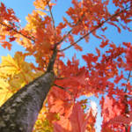 """Fall art Looking Up Tree Blue Sky Orange Leaves"" by BasleeTroutman"