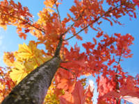 Fall art Looking Up Tree Blue Sky Orange Leaves