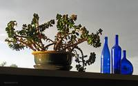 Blue Bottles and Succulent