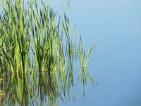 Tall Grass In Pond