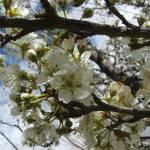 """plum blossom01"" by meganrenehoover"