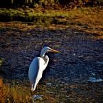 """""""egret on the Marsh"""" by MelanieDoty"""