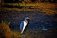 egret on the Marsh
