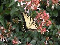 Yellow Tiger Swallowtail  July 08 023