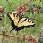 """Yellow Tiger Swallowtail July 08 027"" by TomBellEagleWing"