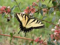 Yellow Tiger Swallowtail July 08 027