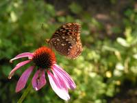 Butterfly burnt umber 15 Aug 08 007