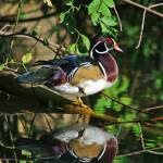 """Late Summer Wood Duck"" by rsummers"