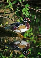 Late Summer Wood Duck