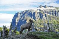 Bighorn sheep poses at Logan Pass