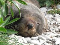 New Zealand Fur Seal Kaikoura