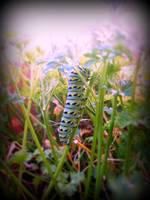 Swallowtail Caterpillar 2