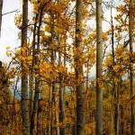 """Fall Aspen Trees in Colorado"" by CocktailHour"