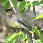 """Cedar Wax Wing"" by cameragal"