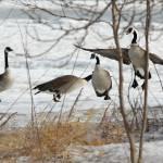 """Canada Goose"" by cameragal"