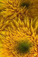 Double Shine Sunflowers - Up Close