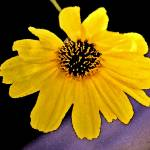 """Yellow Daisy"" by MelanieDoty"