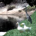"""Duck n Crane"" by trishacolbart"