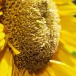 """""""sunflower03"""" by sandradee8"""