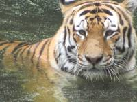 Tiger Cooling Off