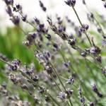 """Lavender"" by ccnoffi"