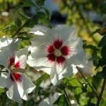 """Backlit Hibiscus Flower"" by netbrands"