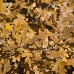 """""""Autumn Oak Leaves"""" by LanceIFitzsimmons"""
