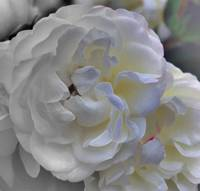 Double Rose 0345  Desaturated  Edit