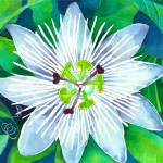 """White Passionflower"" by laurenmcmullen"