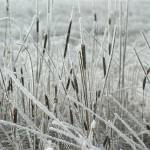 """Frosted Cat Tails"" by Dullinger"
