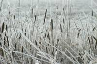 Frosted Cat Tails