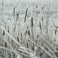 Frosted Cat Tails by Roger Dullinger