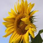 """Sunflower 2"" by CarrieAnderson"